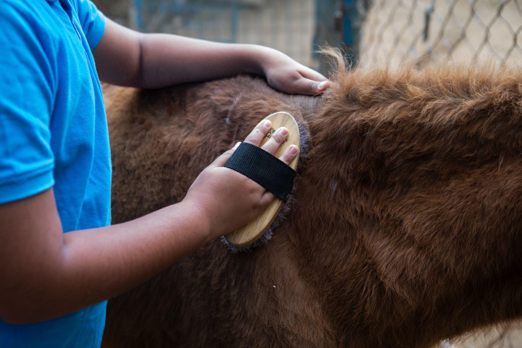 Simhasthita Singh grooms Survivor, a pony rescued by Samabhava