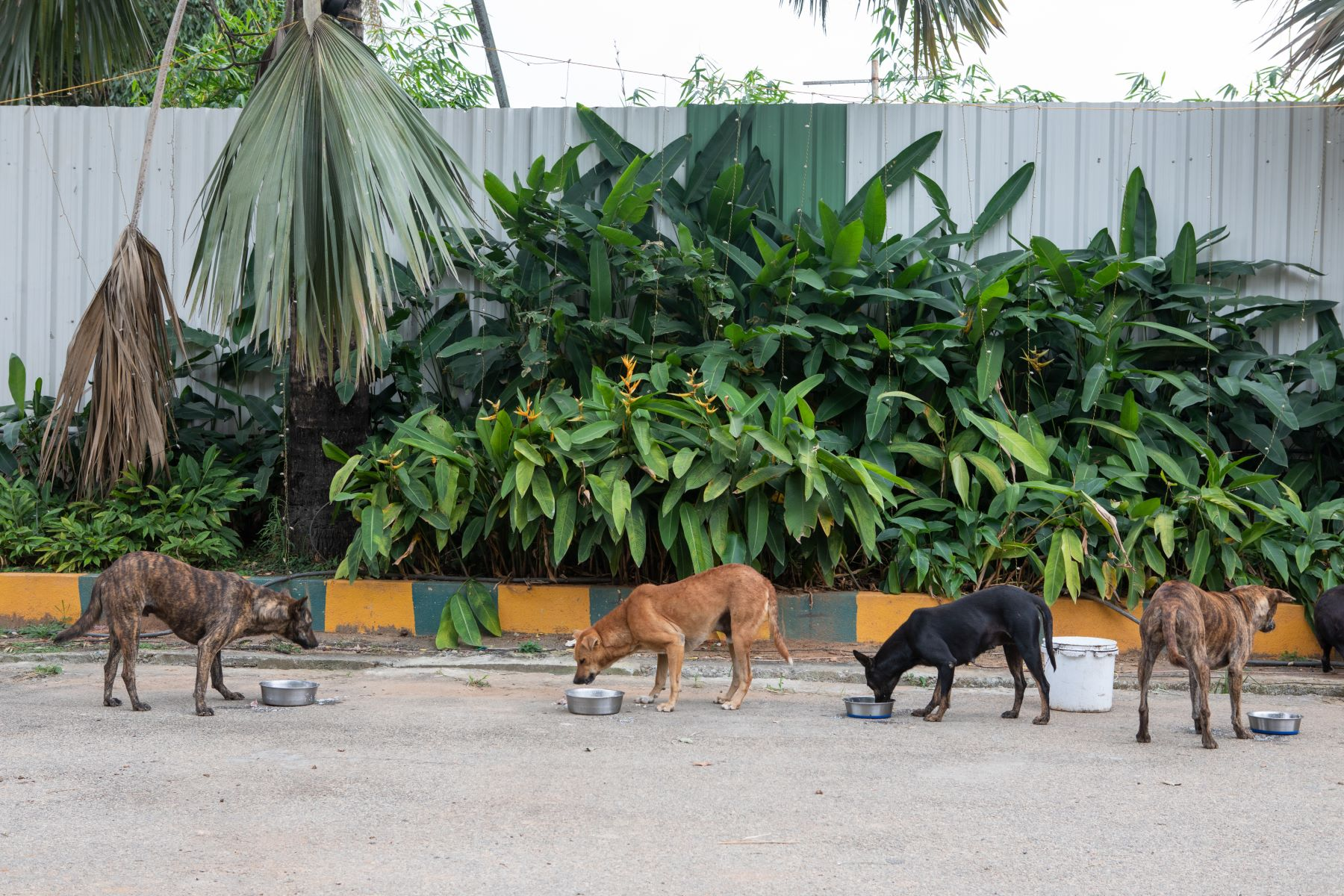 Street dogs at Palace grounds eat chicken and rice